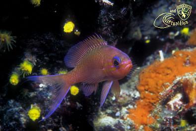 Picchi di Pablo Subacquea Isola d'  Elba immersioni sub