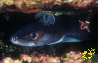 Punta del Nasuto   Subacquea Isola d'  Elba immersioni sub