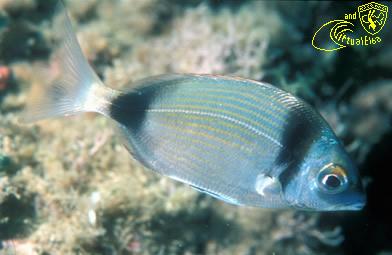 Scoglio della Focacciaiola Subacquea Isola d'  Elba immersioni sub