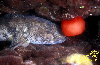 Scoglio del Remaiolo Subacquea Isola d'  Elba immersioni sub