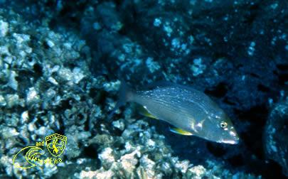 Secca di Capo Fonza Subacquea Isola d'  Elba immersioni sub